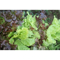 Organic Lettuce Mix Seeds